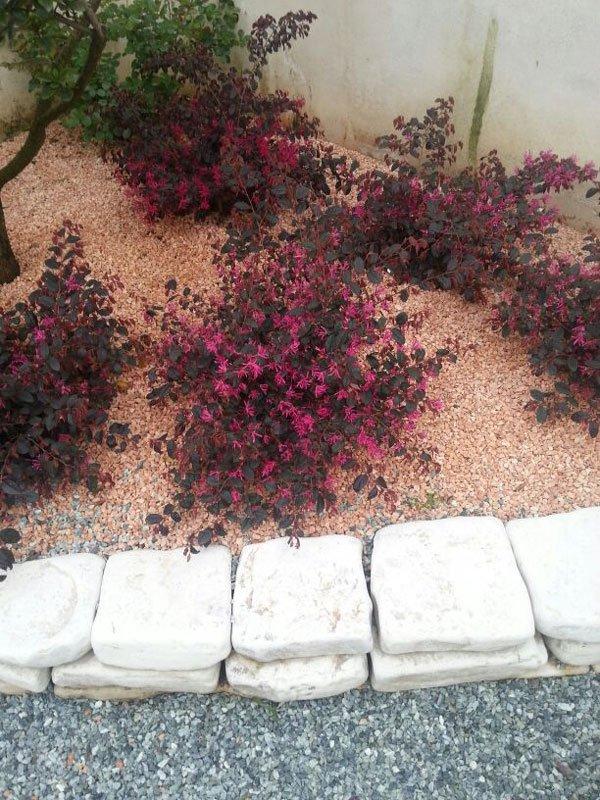 delle piante con dei fiori bordeaux in un' aiuola