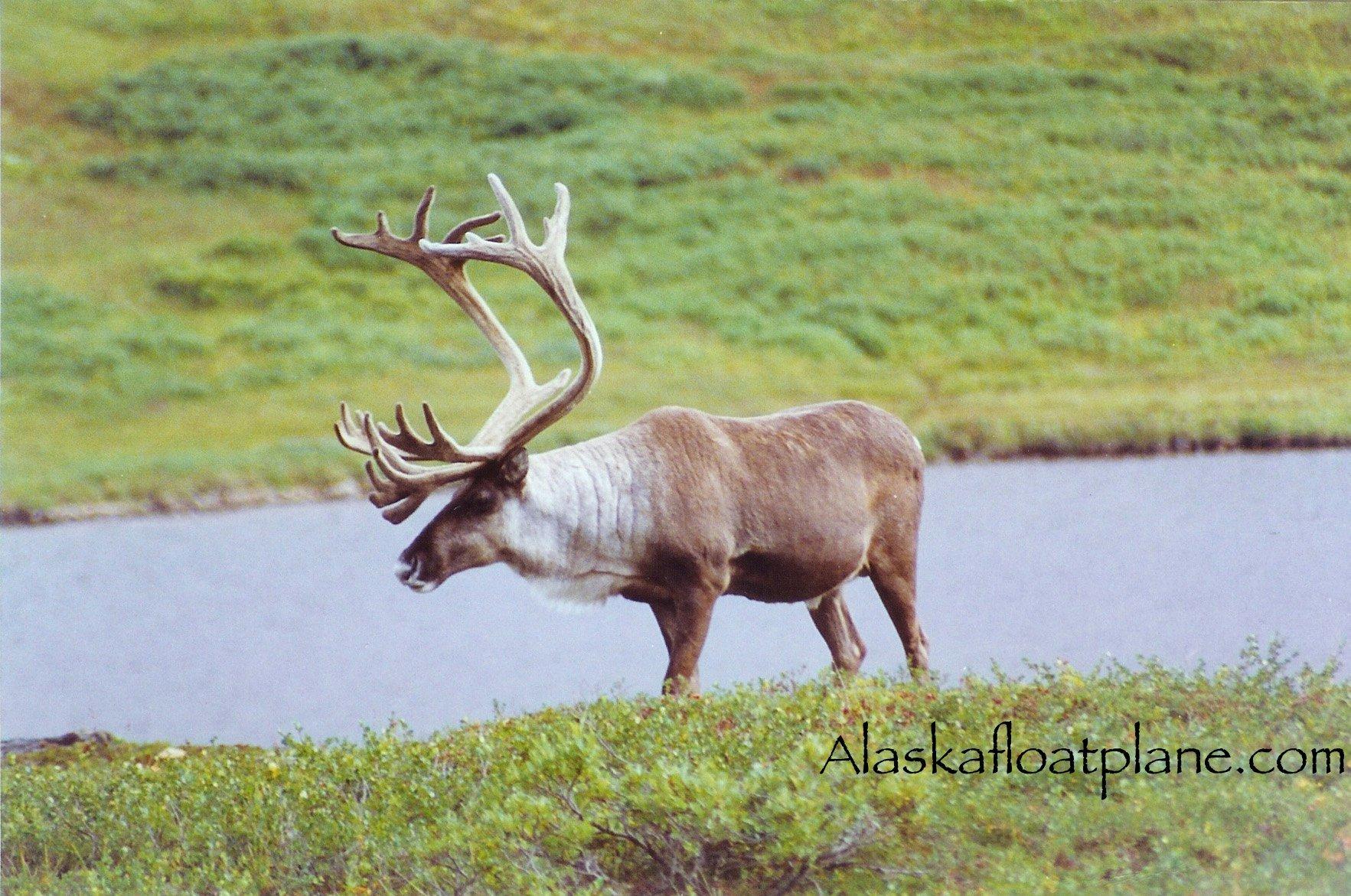 Flightseeing tour Talkeetna Alaska, Wildlife flights, wildlife flights