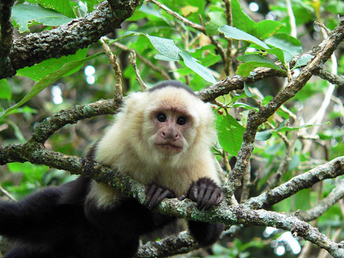 Golfo Dulce monkey