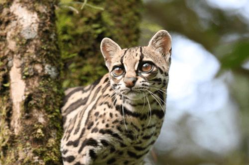 Golfo Dulce wild cat