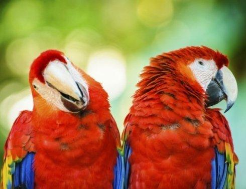 coppia pappagalli rossi