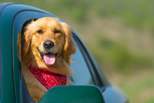 cane mentre guarda fuori dalla finestrino di una macchina