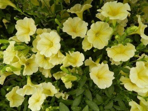 Primule gialle in vaso