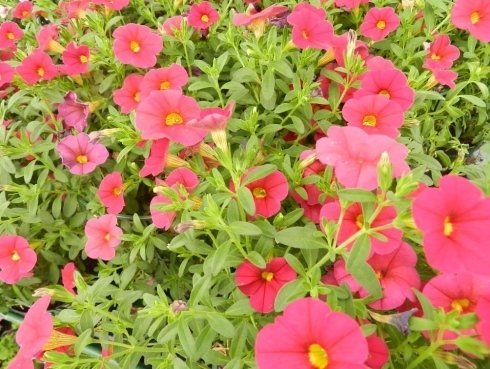 Piante fiorite in cespuglio