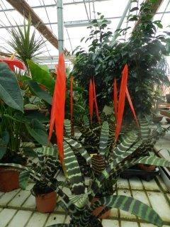 pianta da interno rossa