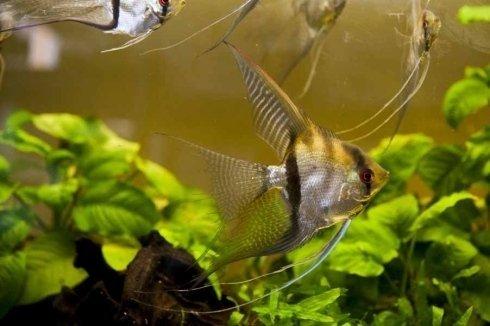 pesci striati