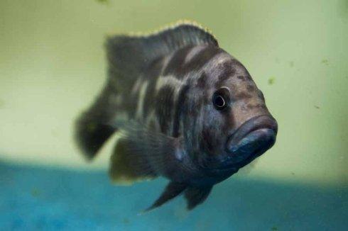 pesci grigi