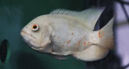 pesci quarantenati e selezionati