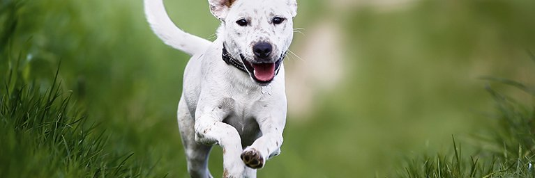 white dog running through grass