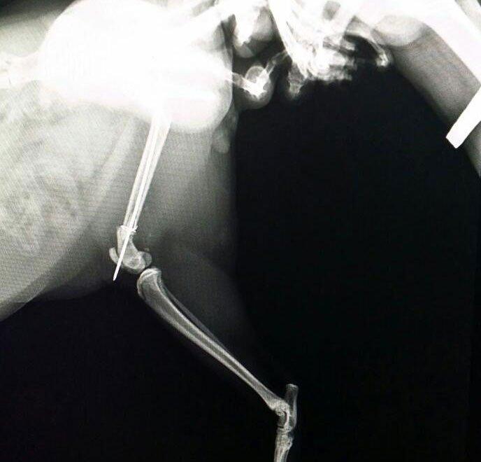 lastra di una radiografia veterinaria