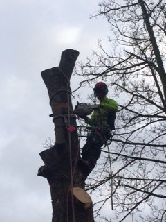 tree expert at work