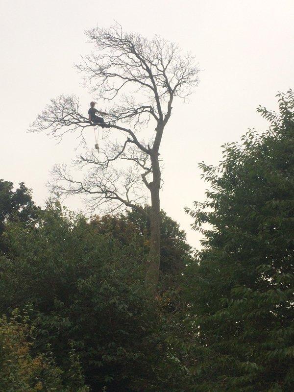 old tree felling