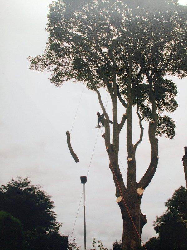 huge tree felling