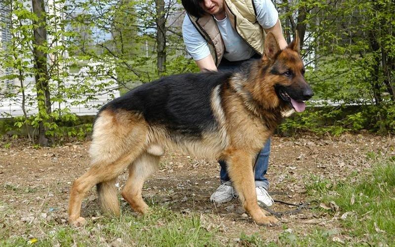 vendita cani razza montebelluna