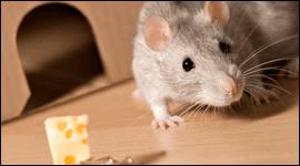 lotta ai ratti