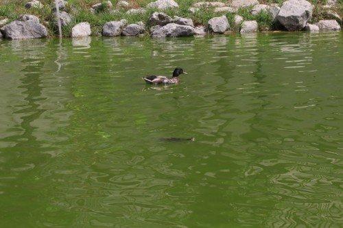 anatra in un laghetto