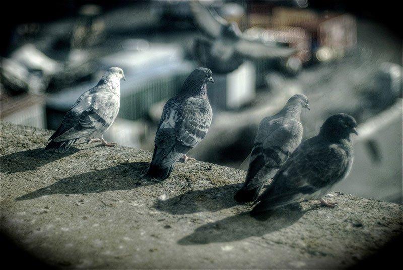 Feral birds