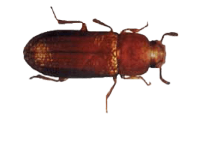 Rust red flou beetle