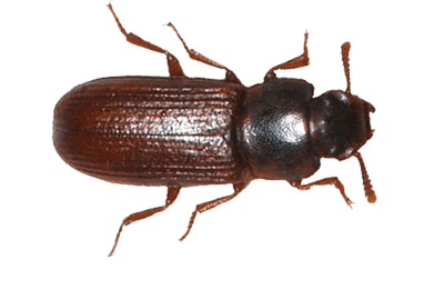Confused flour beetle