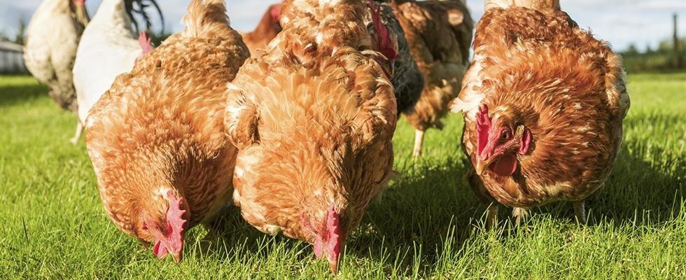allevamento di galline