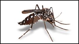 disinfestazione zanzare, zanzara tigre