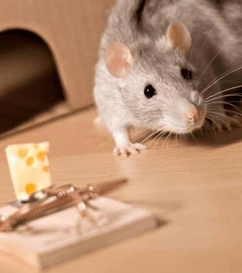 allontanamento topi