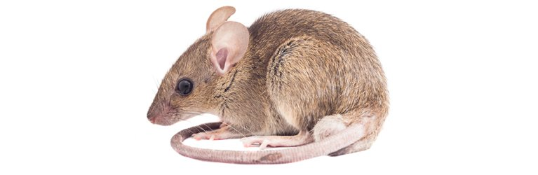 ausmic pest control rat