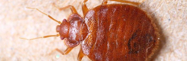 ausmic pest control bed bug