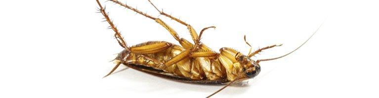 ausmic pest control dead cockroach