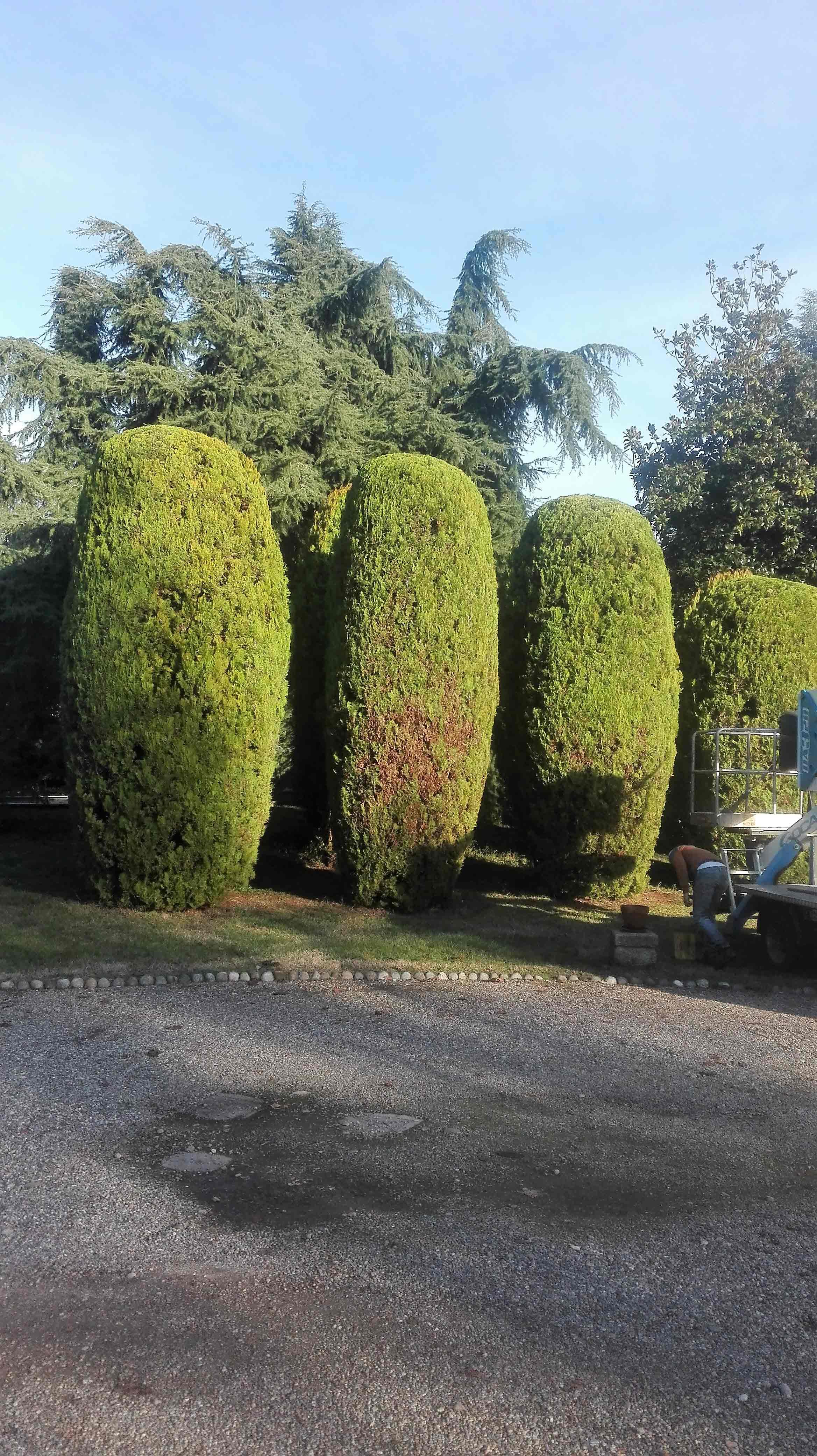 tre cipressi a forma conica in un giardino e accanto un giardiniere chinato a terra