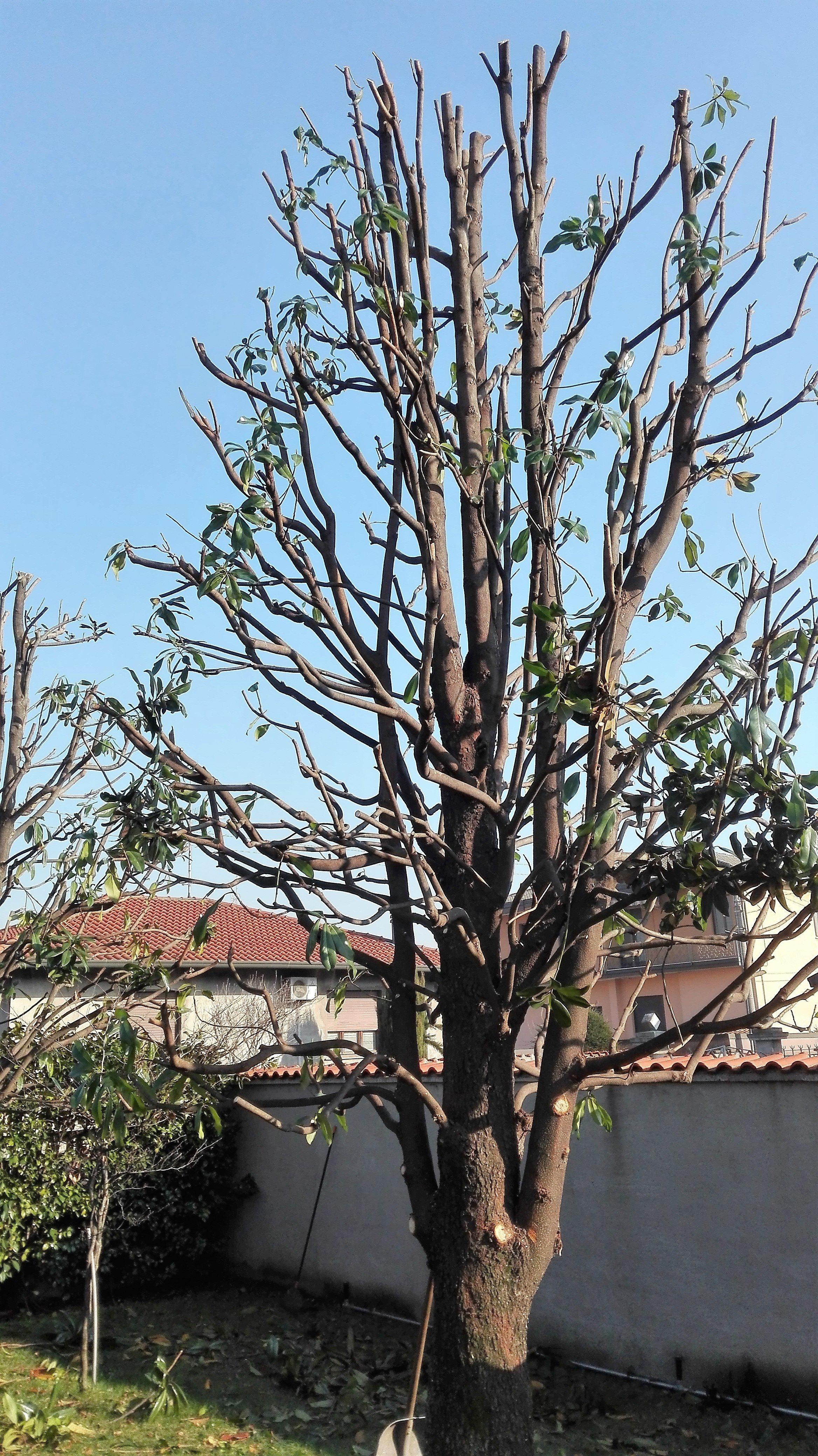 potatura magnolia