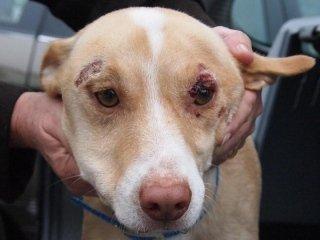 Cura dermatite cani
