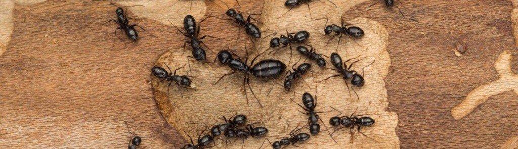 carpenter ant control exterminator North Attleboro Mansfield Braintree MA Newport County RI