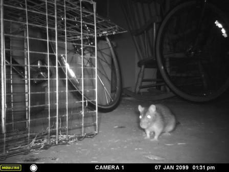 Rodent camera caught a rat in house North Attleboro, MA