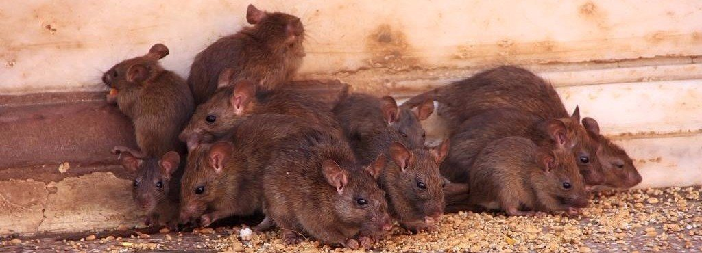 mice rats trapping removal services Massachusetts
