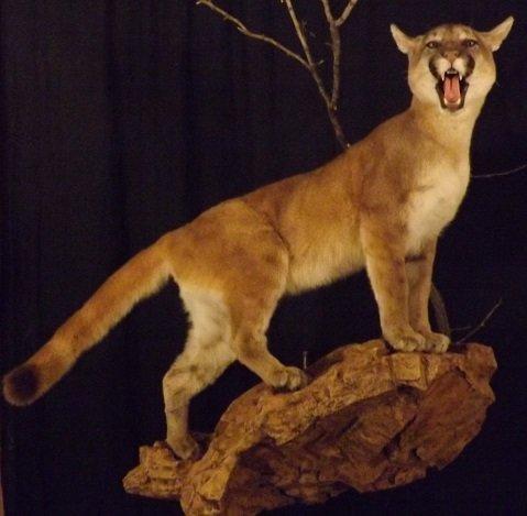 Safari Taxidermy Midland, TX