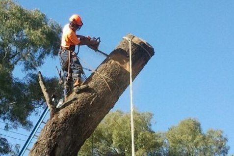 One of our tree surgeons working on a tree trunk in Canberra