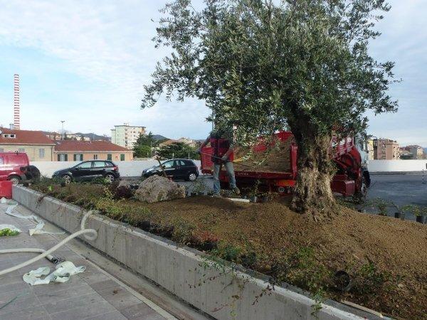 Realizzazione aiuola esterna con olivo secolare