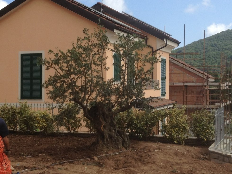Posa olivo secolare