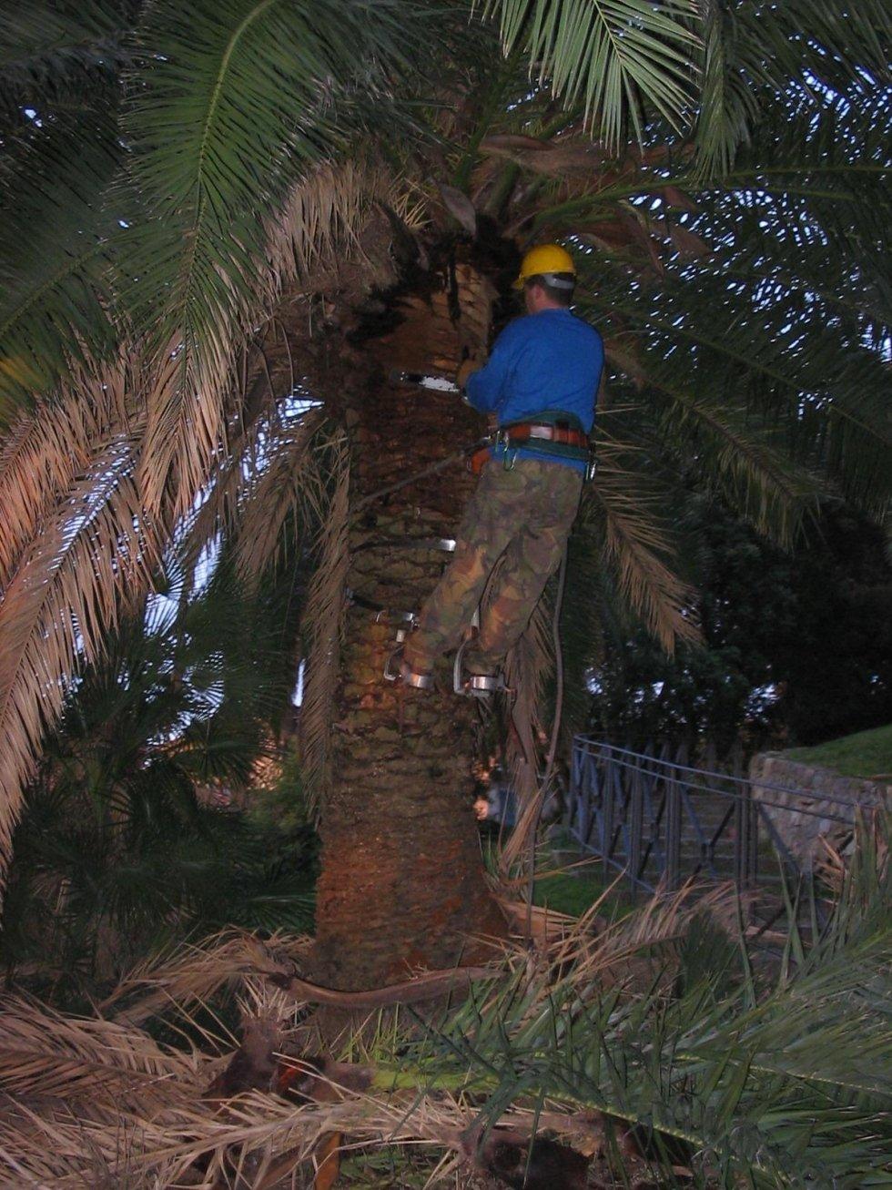 inizio pulizia palme