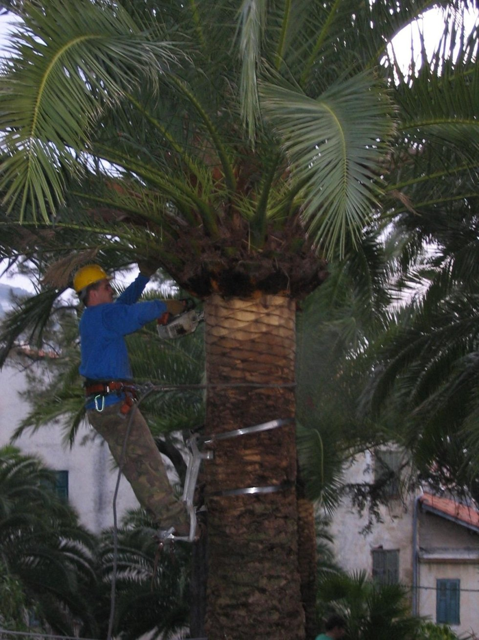 pulizia palme