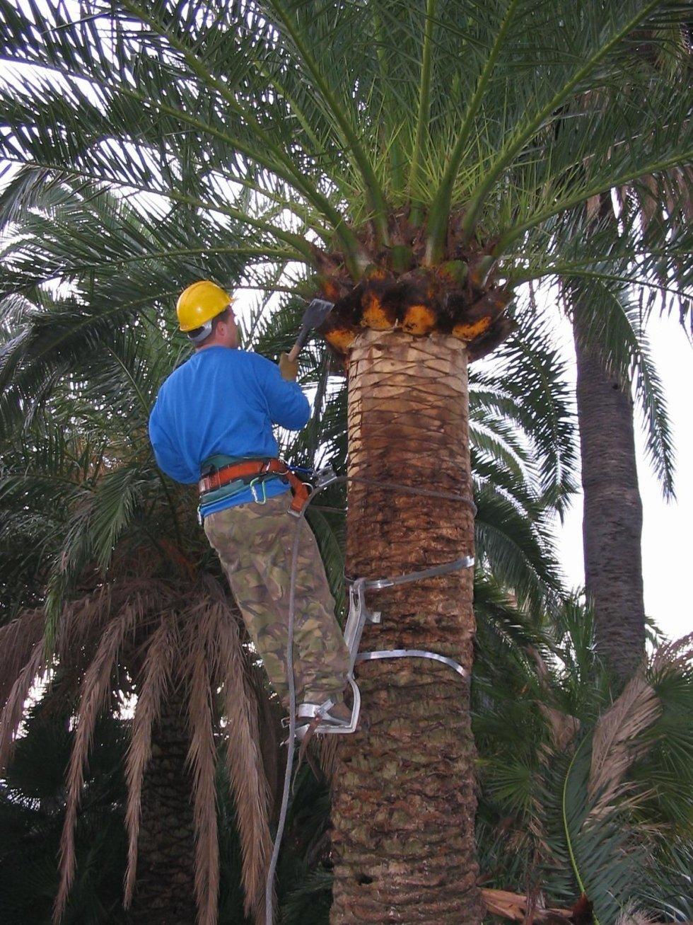 fase avanzata pulizia palme