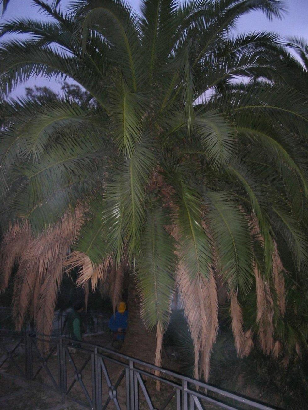 pulizia palme fase iniziale