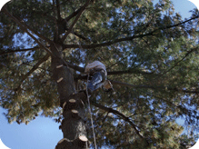 c and d schroeder tree services man climbing tree for cutting