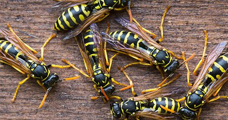 Several wasps exterminated in Rochester