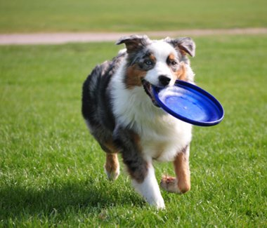 terrey hills cattery and kennels dog holds a frisbee