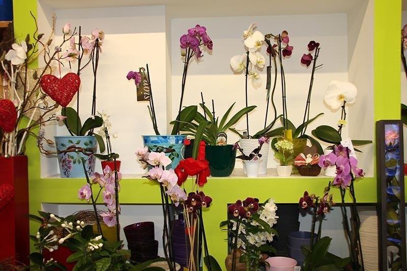 orchidee fiorite
