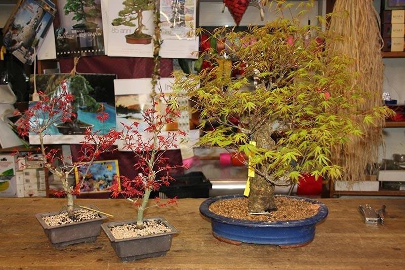 due bonsai