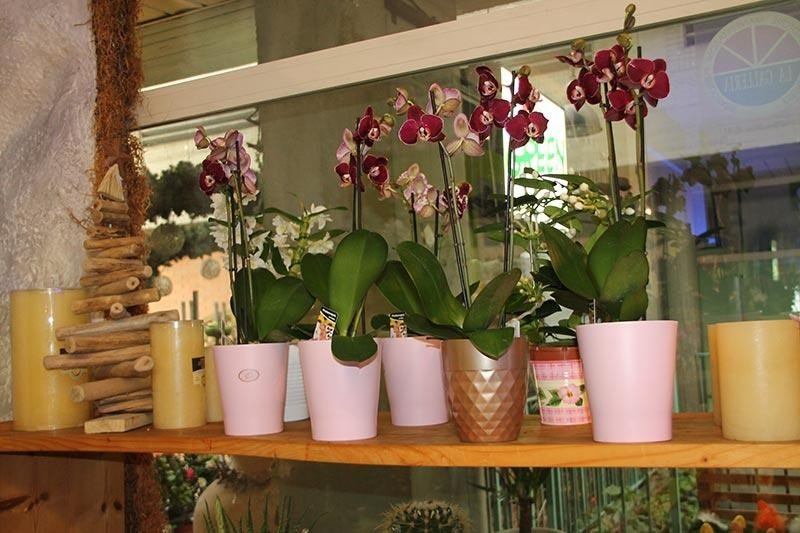 Bonsai fiori e piante ornamentali a perugia perugia corciano green - Orchidee da esterno ...