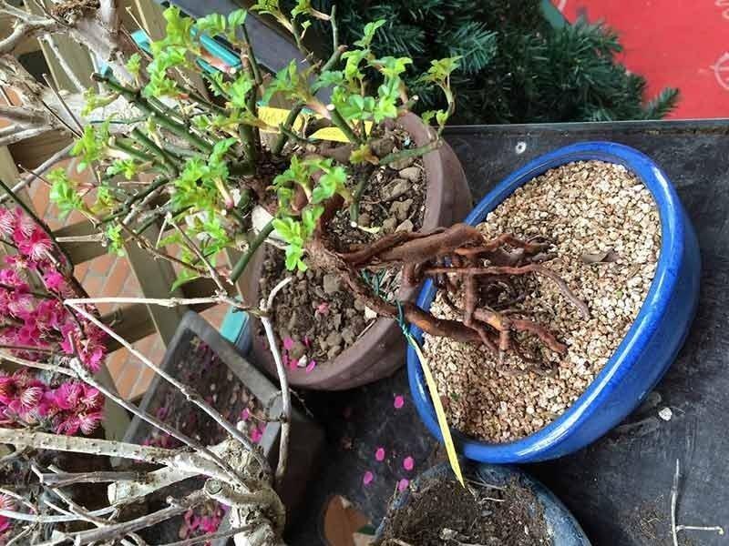 ampia varietà bonsai